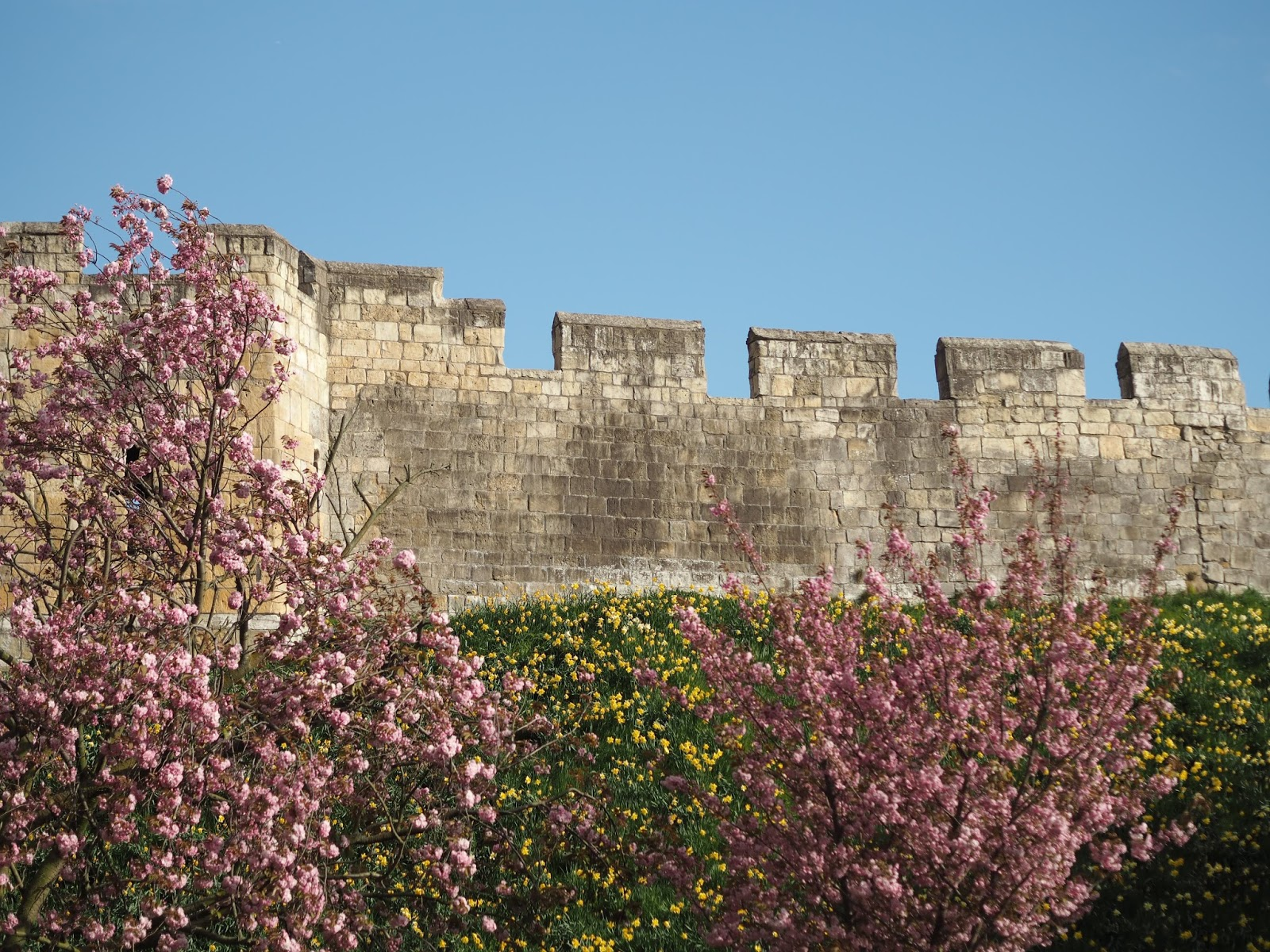 daffodils, cherry blossom and York city walls