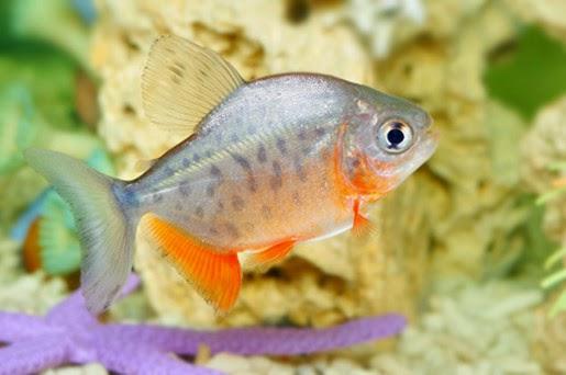 Jak karmić rybki akwariowe?