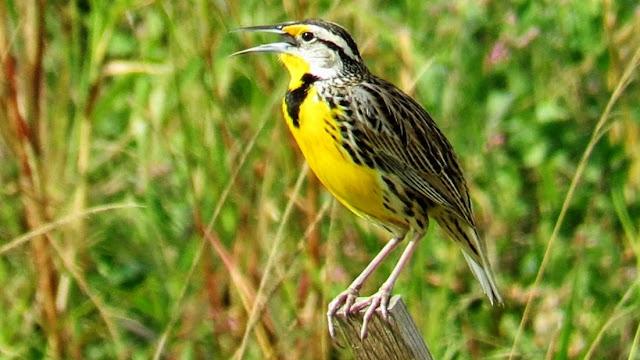 Meadowlark Singing And Calling