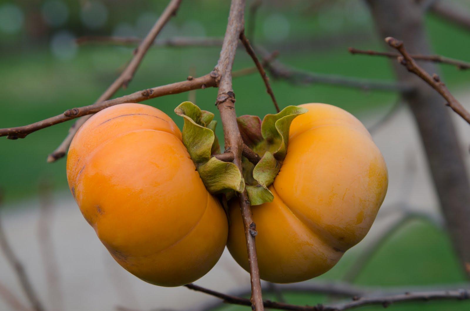 Baum des Tages: ungewöhnliche Früchte des Herbstes