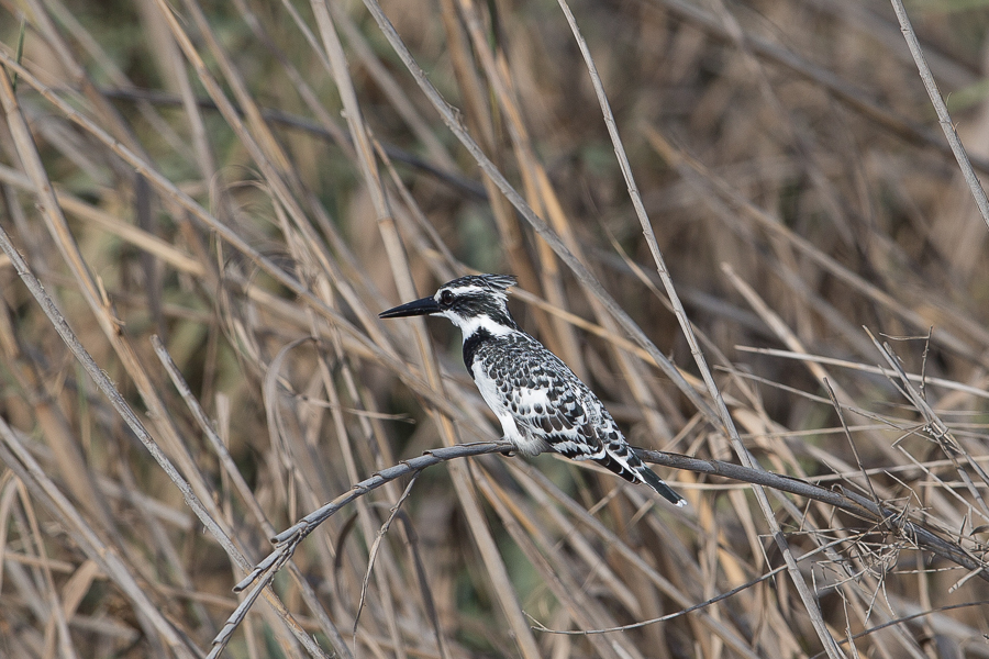 Pied Kingfisher - female