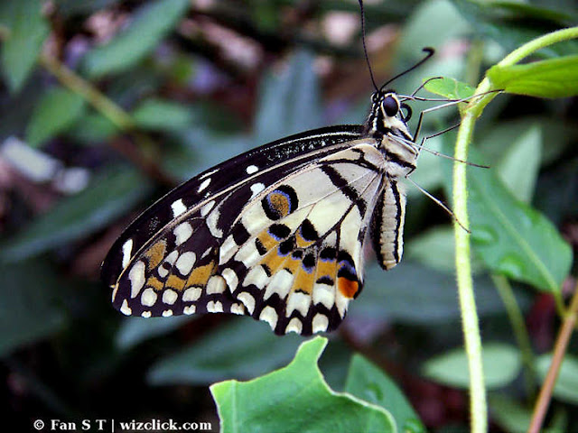 Macro of chequered swallowtail or lime butterfly