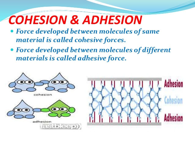 What properties of water contribute to cohesion and adhesion #1
