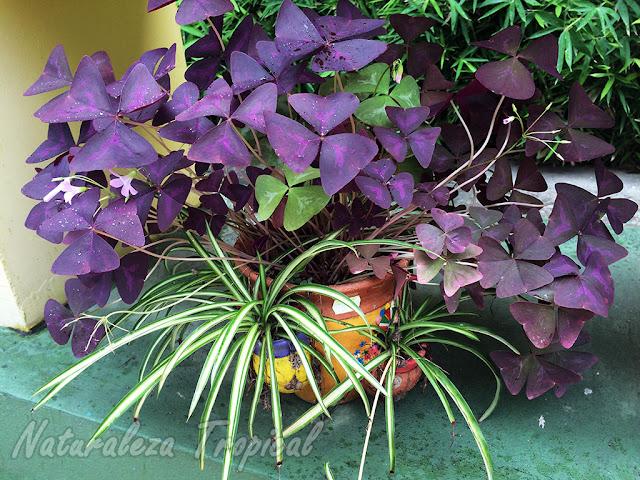 Las flores de Oca y las cintas puedes cultivarlas en interior sin problemas. Flor de oca, género Oxalis y Cinta, género Chlorophytum