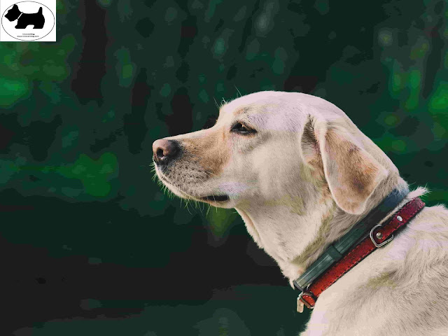 Labrador Retriever, dog information, Dog facts, Best dog Breeds