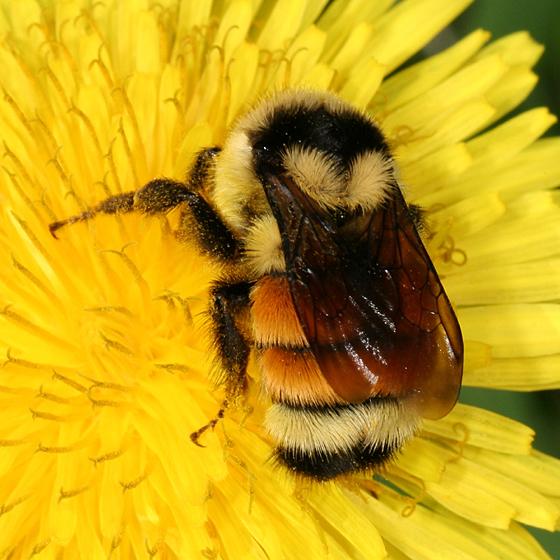Hive Vs Nest >> Bumble Bee | Animal Wildlife