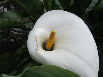 Fiore Zantedeschia aethiopica