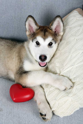 A happy Siberian Husky puppy curled up with a heart pillow