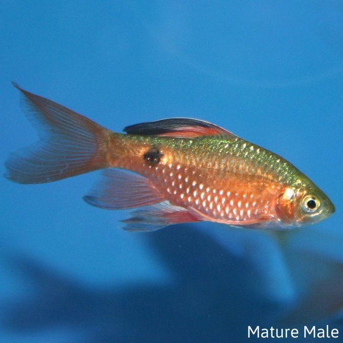 Gambar Ikan Hias Barbir Rosy Barb