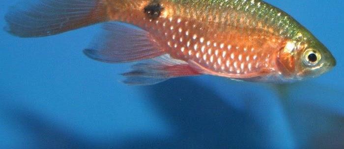 Ikan Barbir (Rosy Barb) dan Cara Budidayanya