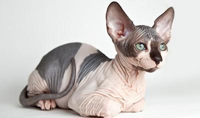Oyuncu-Kedi-Turleri