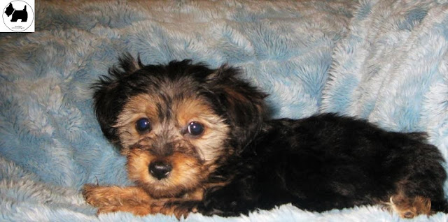 Cutest Dog Breeds, Best Dog, Yorkipoo Dog puppies