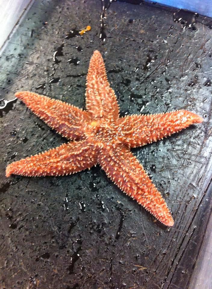 Raaj S Awesome Biology Blog Omg Starfish Dissection