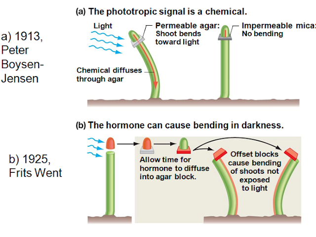 Esperimenti Boysen-Jensen e Went Fototropismo