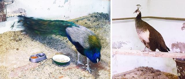 Самарский детский эколого-биологический центр: павлин и пава, королевские птицы