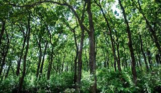 sal forest_DevBhumUttarakhand