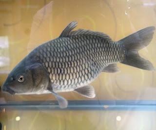 Ikan Mas - Cianjur Update