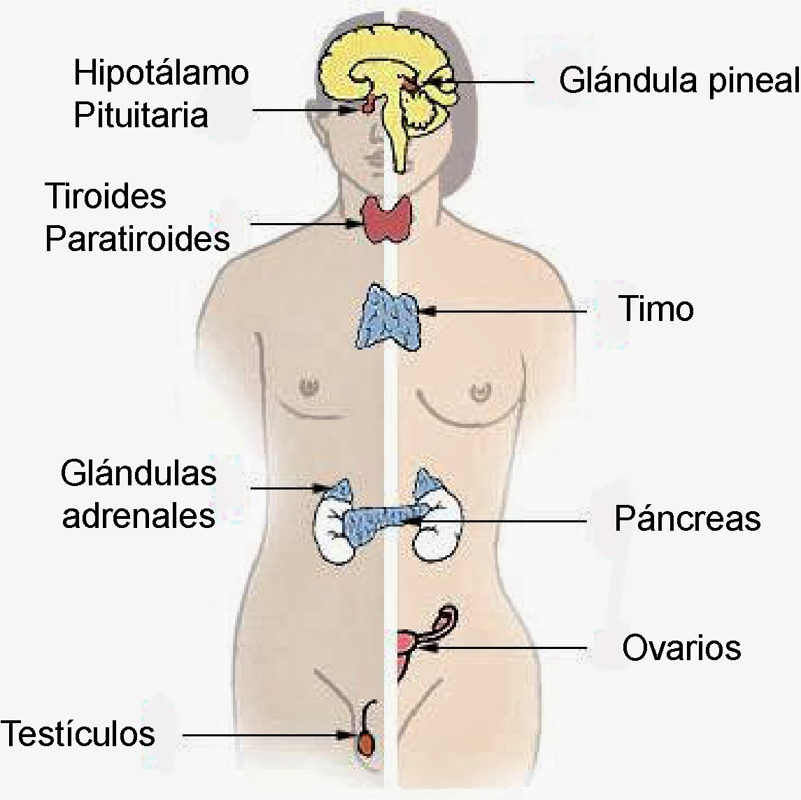 Ciencias de Joseleg: 5 SISTEMA ENDOCRINO DE LOS VERTEBRADOS