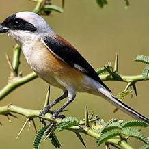 Cara Mengenali Dan Memilih Burung Cendet Dari Bentuk Ekor