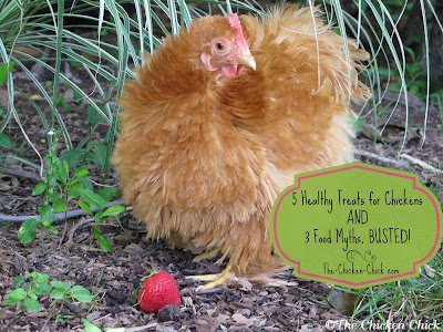 Everyone enjoys spoiling their pets. We get a kick out of seeing our pet chickens run to greet us at the mere sight of the treat container or the sound of the back door opening, but the wrong type of treats and treats in excess can be harmful to a chicken's health, stunt its growth, shorten its lifespan and interfere with production in a laying hen.
