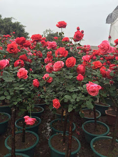 cây hoa hồng thân gỗ