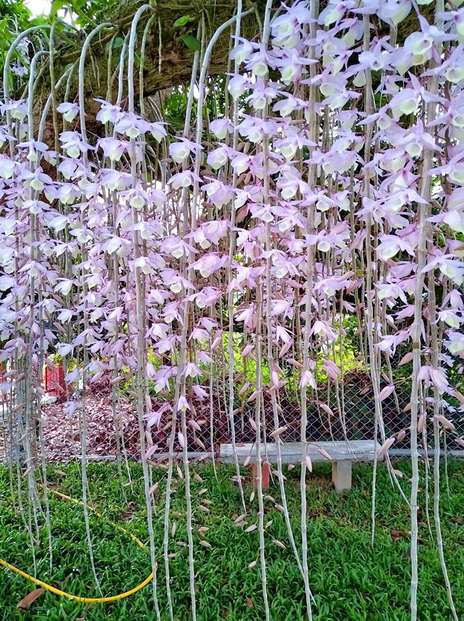 開花囉!粉紅花瀑布垂吊老龍眼樹|白河洪厝溪洲部落石斛蘭|花期只有兩週喔