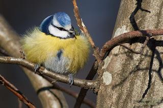 Kék cinege - Eurasian Blue Tit - Blaumeise - Parus caeruleus