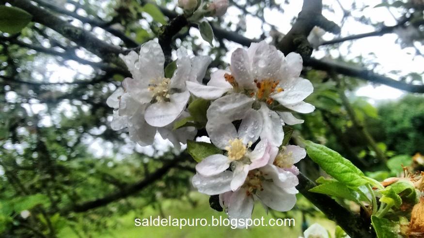 manzanos-en-flor
