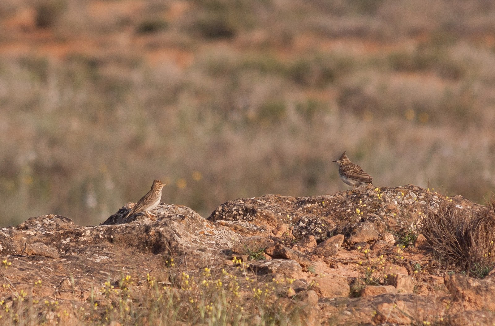 Thekla and Lesser Short-toed Lark - Spain