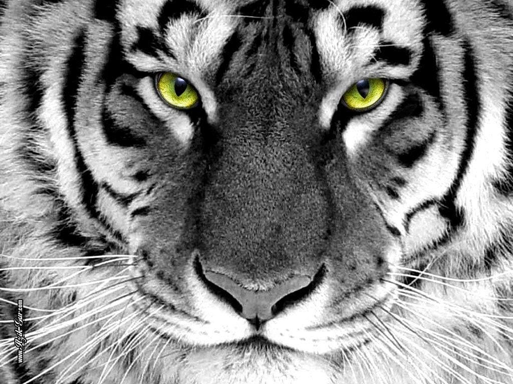 White tiger wallpapers hd desktop wallpapers free download - Tiger hd wallpaper for pc ...
