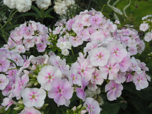 kwitnąca bylina