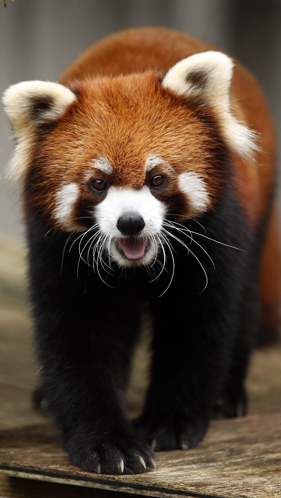 A cute red panda.