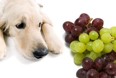 Dog lying down looking at green grapes and red raisins