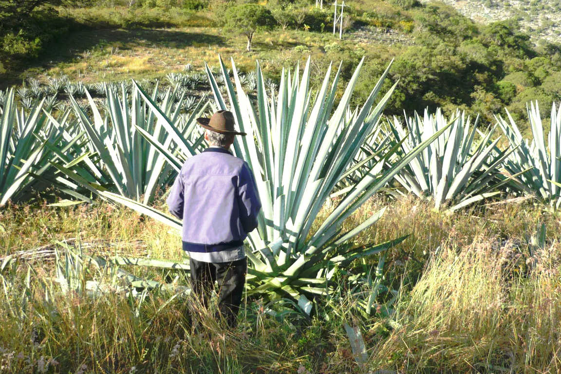 Maguey arroqueño en la localidad de El Vado, Oaxaca.