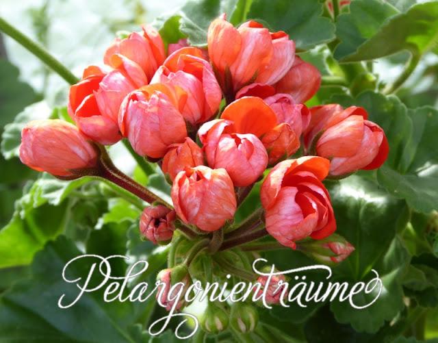 Tulpenpelargonie-Tulpenpelargonien