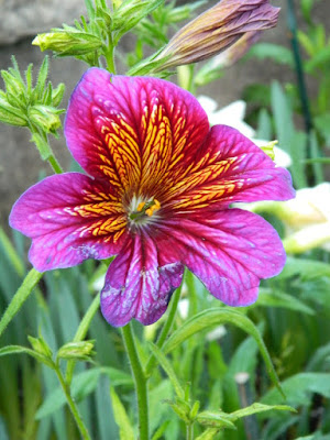Salpiglossis sinuata Purple Royal Painted Tongue at the Allan Gardens Conservatory 2018 Spring Flower Show by garden muses-not another Toronto gardening blog