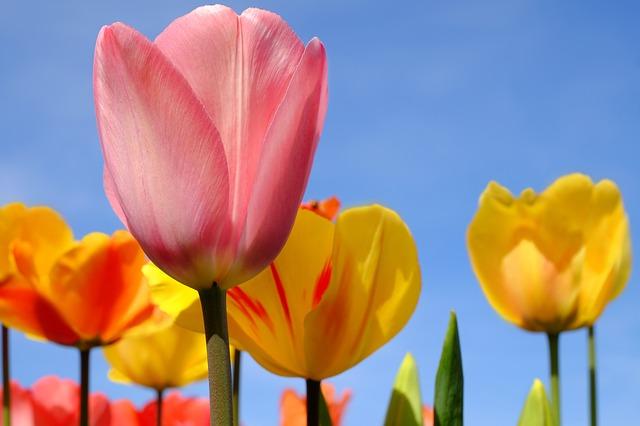 hoa tulip đỏ đẹp nhất 1