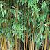 Klasifikasi Bambu