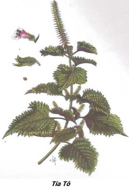 Hình ảnh Tía Tô - Perilla ocymoides - Nguyên liệu làm thuốc Chữa Cảm Sốt