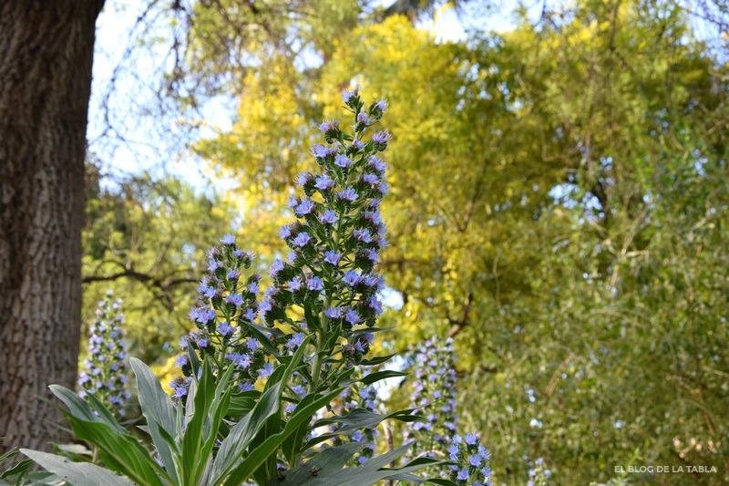 Echium candicans, Massaroco, Echium fastuosum, orgullo de Madeira, Tajinaste, Pride of Madeira