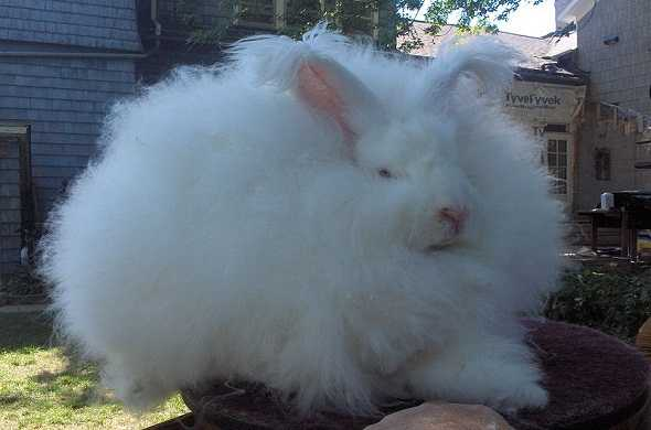 angora-rabbit-ارنب-انجورا