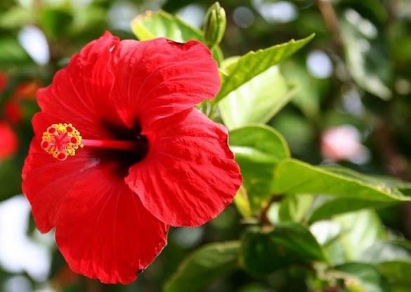 Ciri-Ciri dan Morfologi Bunga Kembang Sepatu