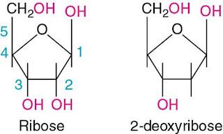न्यूक्लिक अम्ल की परिभाषा क्या है | डी ऑक्सी राइबोज न्यूक्लिक अम्ल | राइबोज़ न्यूक्लिक अम्ल