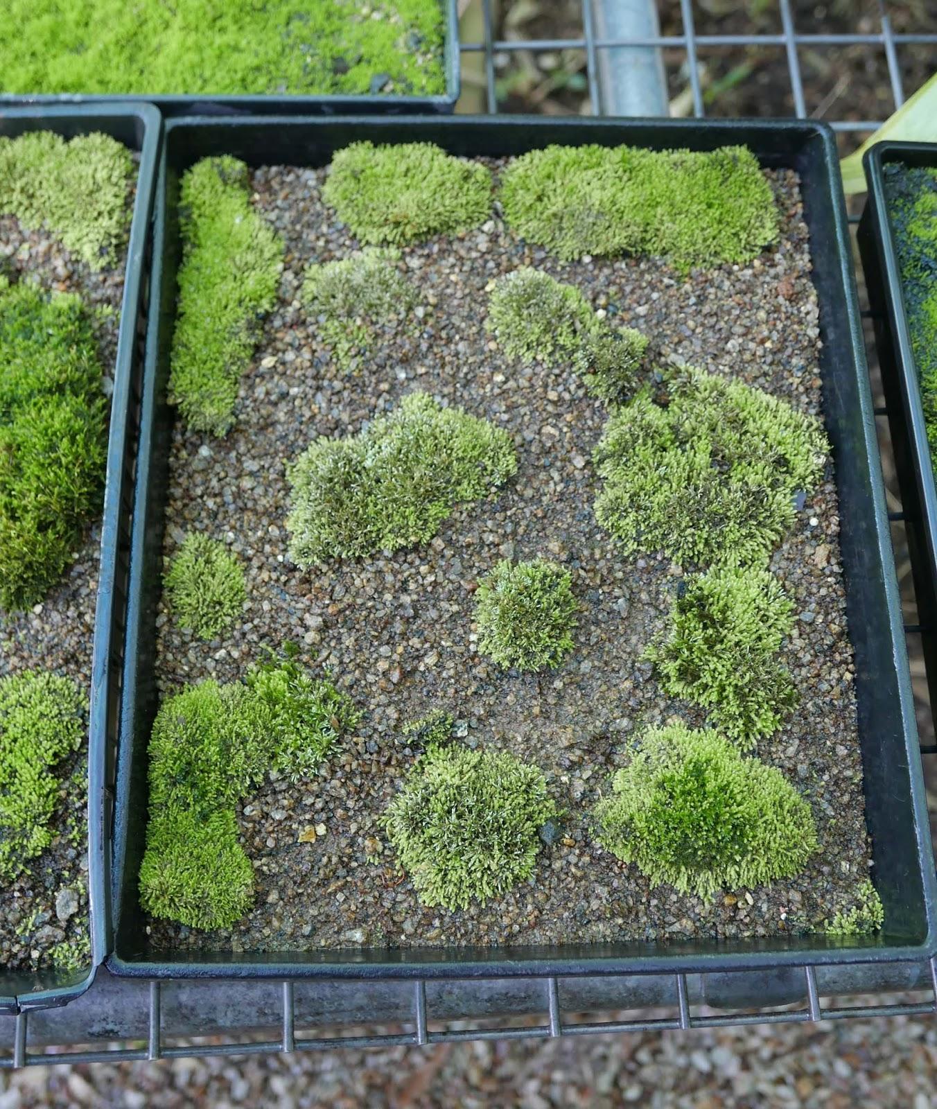 Stephen Cullum S Bonsai Pottery Post 237 Growing Moss The