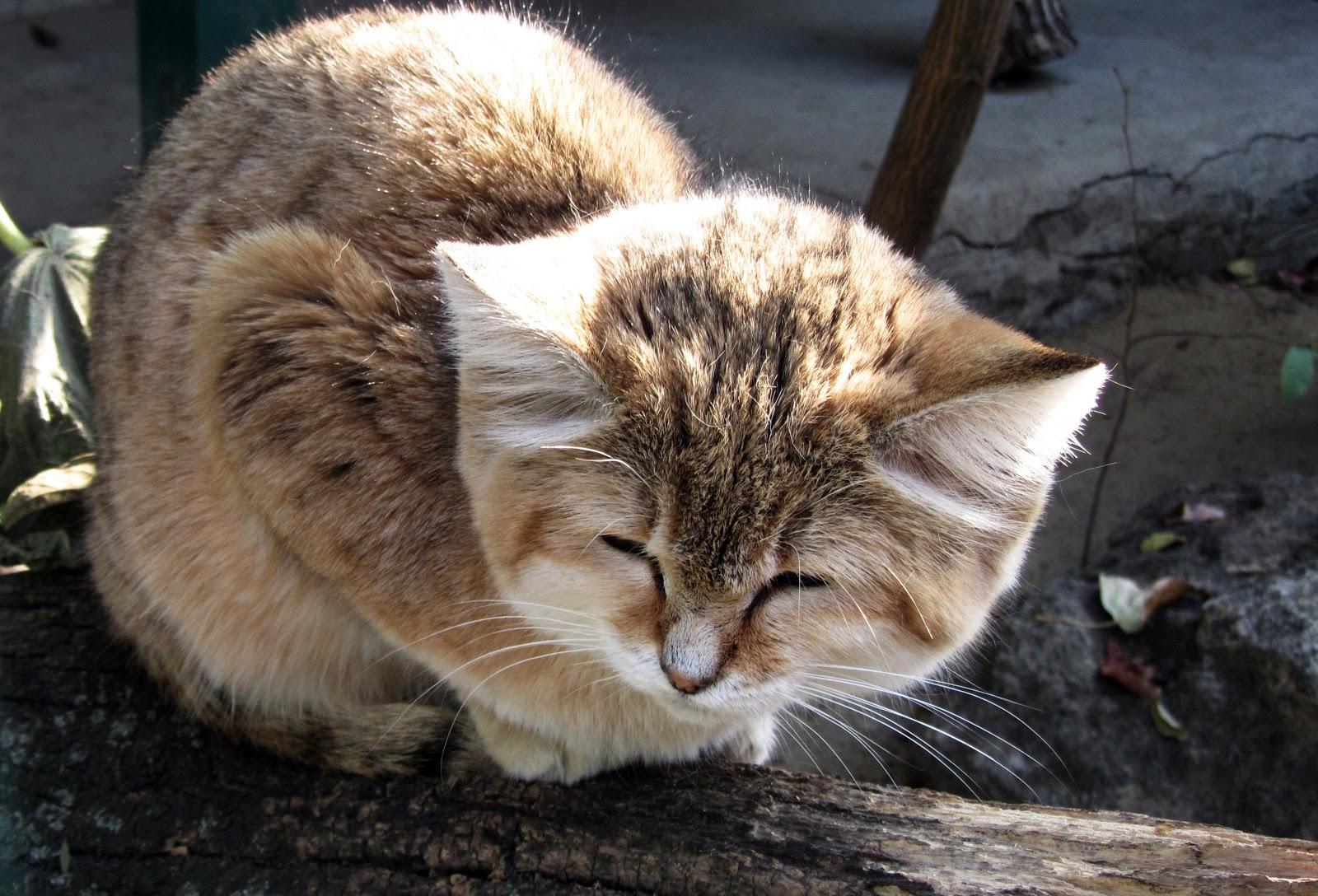 ニコラエフ動物園の踞っている砂猫