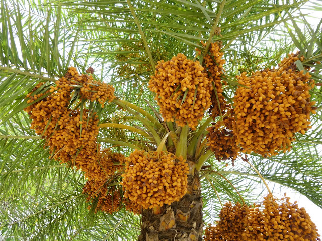 Falaknuma Palace Images: palm tree laden with dates