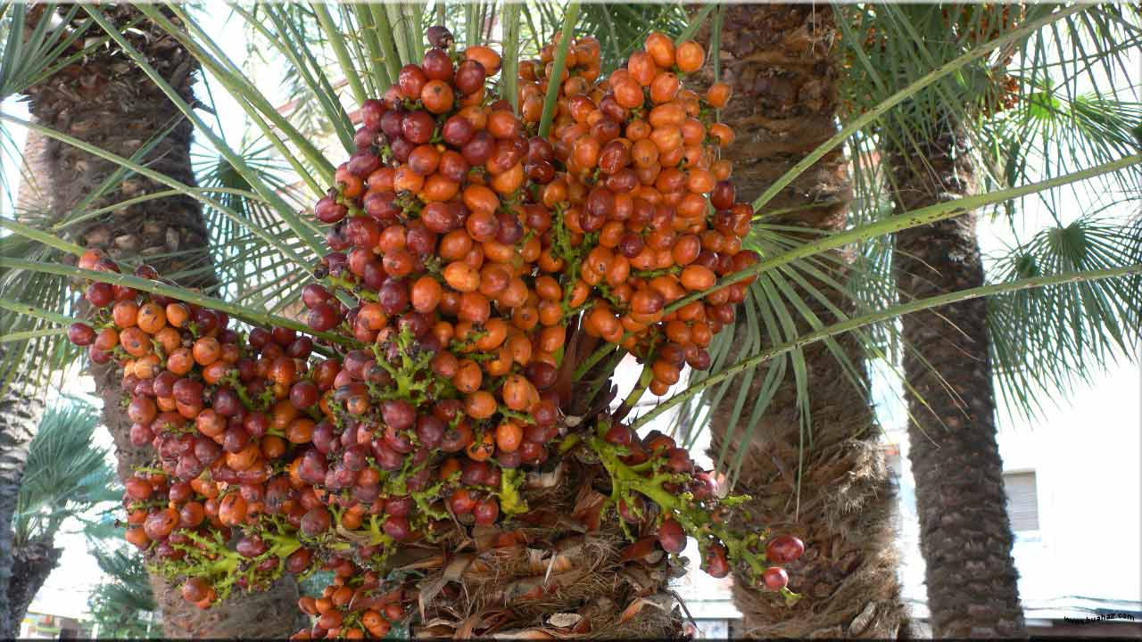 gambar buah kurma, bahasa arab kurma