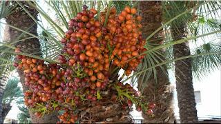 gambar buah kurma