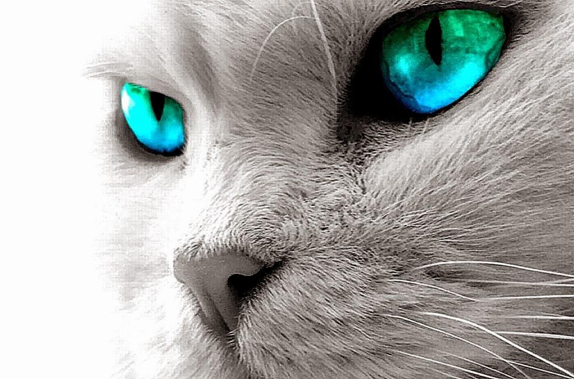 cute cats blue eyes animals wallpaper | background wallpaper gallery