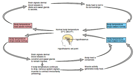 Regulation of body temperature ~ Medicine Hack